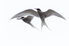 Sterna paradisaea, Arctic Tern Royalty Free Stock Images