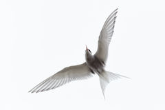 Sterna paradisaea, Arctic Tern Stock Photo