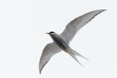 Sterna paradisaea, Arctic Tern Stock Photography