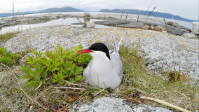 Sterna paradisaea, Arctic Tern Stock Photos