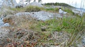 Sterna paradisaea, Arctic Tern Stock Image
