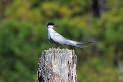 Sterna paradisaea. Arctic tern on a Sunny summer day in Northern