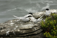 Sterna striata, White-fronted Tern , Punakaiki, New Zealand South Island