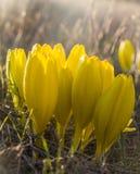 Sternbergia clusiana, för i sin helhethöst för lös blomma blom arkivfoto