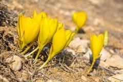 Sternbergia clusiana, för i sin helhethöst för lös blomma blom arkivbild
