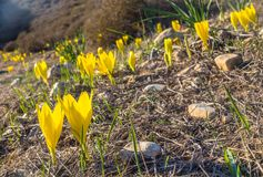 Free Sternbergia Clusiana, Wild Flower In Full Autumn Bloom Stock Images - 131832044