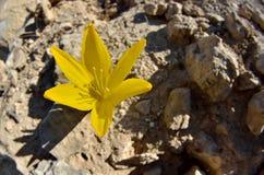 Sternbergia clusianablomning, en lökformig blomma växt i familjamaryllidaceaen, subfamily Amaryllidoideae, Israel arkivbild