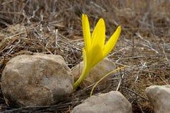 Sternbergia floreciente en el desierto del Néguev Imagenes de archivo