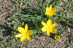 Sternbergia lutea Stock Images