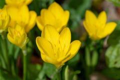 Sternbergia lutea i trädgården anmärkning Selektivt fokusera royaltyfri bild