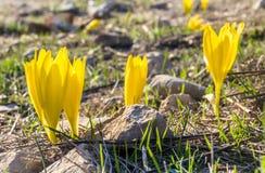 Sternbergiaclusiana, wilde bloem in volledige de herfstbloei royalty-vrije stock fotografie