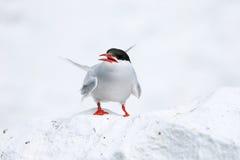 Sterne arctique sur les îles de farne photographie stock