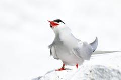 Sterne arctique sur les îles de farne photos libres de droits