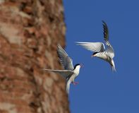 Sterne commune (Hirundo de sternums) en vol. Photo stock