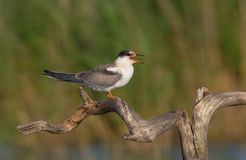 Sterne commune - hirundo de sternums - oiseau juvénile images libres de droits