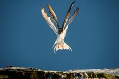Sterne deux commune (hirundo de sternums) agissant l'un sur l'autre en vol Photo stock