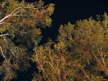 Sterne von unterhalb der Bäume Stockbild