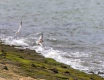 Sternen die prooi vangen en langs het kustgebied vliegen Royalty-vrije Stock Foto's
