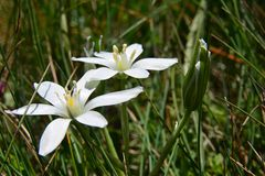 Sternenklare weiße Blumen im Gras, das in den Wind beeinflußt Stockfotografie