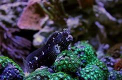 Sternenklarer Blenny - Salarias-ramosus Stockfotografie