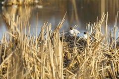 Sternenras in nest van riet wordt gemaakt dat royalty-vrije stock fotografie