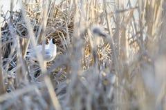 Sternenras in nest van riet wordt gemaakt dat stock foto