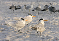 Sternes et d'autres oiseaux sur la plage, la Floride Image stock