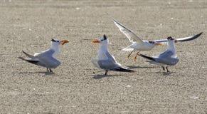 Sternes royales (maximum de sternums) montrant avec un poisson Galveston, le Texas, Etats-Unis Images libres de droits