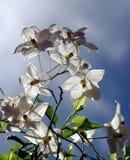 Sternförmige weiße Blumen stockbilder