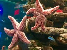 Sternfische Stockfoto