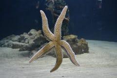 Sternfische Lizenzfreie Stockfotografie