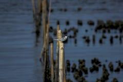 Sternidae малые птицы моря стоковое фото