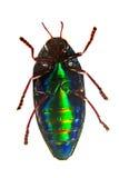 Sternocera aequisignata甲虫底视图。隔绝在白色。 免版税库存照片