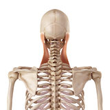 The sternocleidomastoid Stock Photo