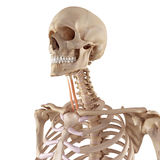 The sternohyoid Royalty Free Stock Photography