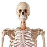 The sternohyoid Stock Photo