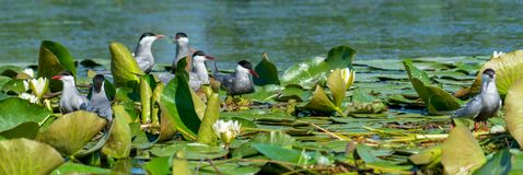 Sterns at nest on lotus flower on Danube delta. During a birdwatching tour on Danube delta at Spring, Sterns families family observed in a protected area royalty free stock image