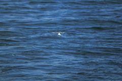 Sternula albifrons are flying over the sea. Sternula albifrons are small sea birds flying above sea surface royalty free stock images
