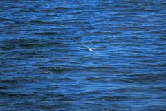 Sternula albifrons are flying over the sea. Sternula albifrons are small sea birds flying above sea surface stock photos