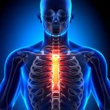 Sternum - Anatomy Bones. Medical imaging Royalty Free Stock Image