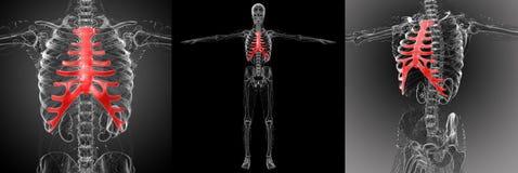 Sternum and cartilage. 3d rendering medical illustration of the sternum and cartilage stock illustration