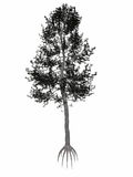 Österreicher oder Schwarzkiefer, Pinus- nigrabaum - 3D Lizenzfreie Stockbilder