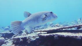 Sterrige Kogelvisvissen stock videobeelden