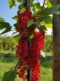 Sterta redcurrant w słońcu zdjęcie royalty free