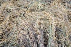 Sterta ryżowi snopy suszyć Fotografia Stock