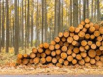 Sterta szalunek w Żółtym Barwionym Modrzewiowym lesie Fotografia Royalty Free
