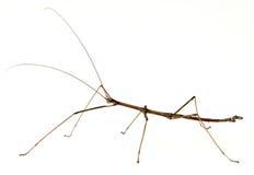 Steuerknüppel-Insekt Stockbild