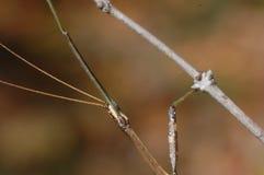 Steuerknüppel-Insekt-Gesichtsbehandlung-Detail Stockfotos