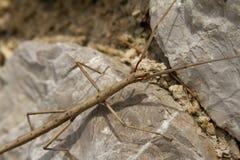 Steuerknüppel insekt Phasmatodea stockfotos