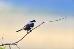 Steuerlicher Vogel auf einer Niederlassung Lizenzfreies Stockfoto